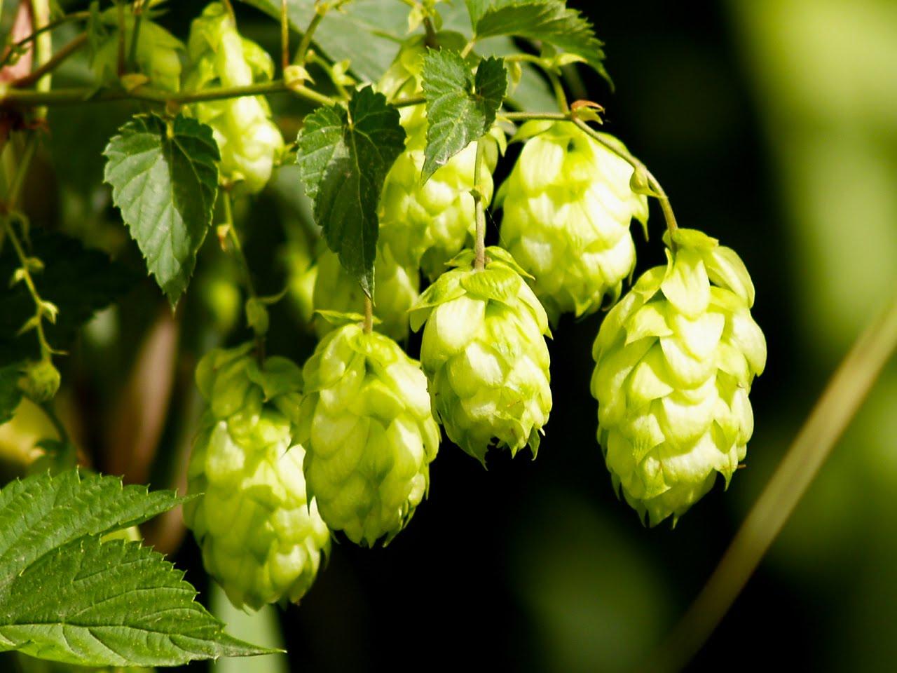 Пиво - наименее вредный алкогольный напиток